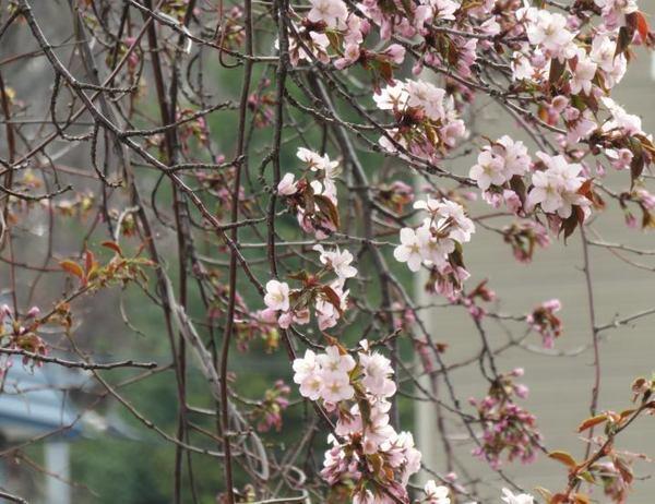 426-sakura.jpg