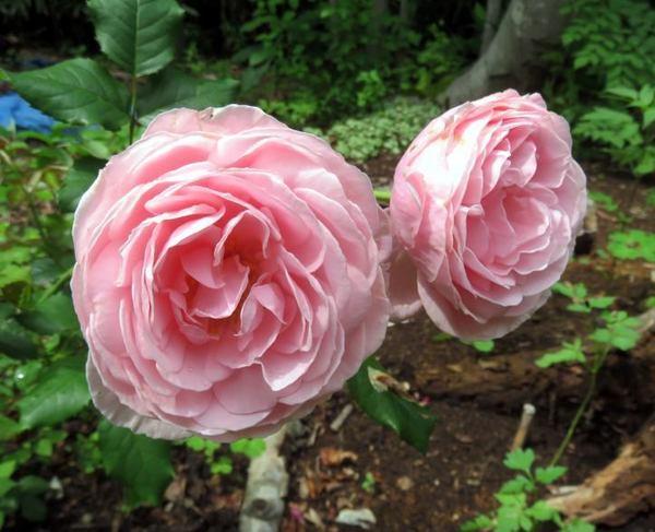 730-rose.jpg