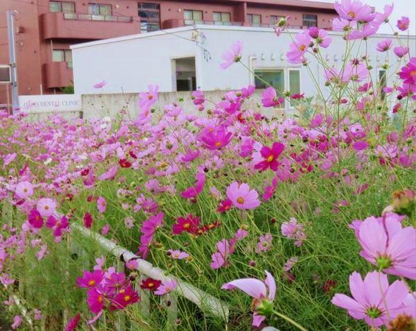 kosumosu-2.jpg